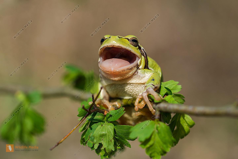Laubfrosch europ. Hyla arborea Common Tree Frog