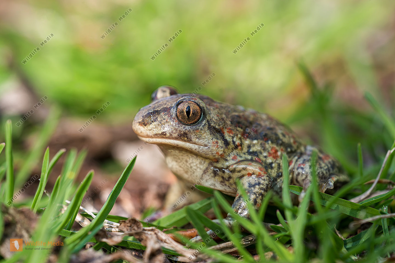 Knoblauchkröte Pelobates fuscus Common Spadefoot