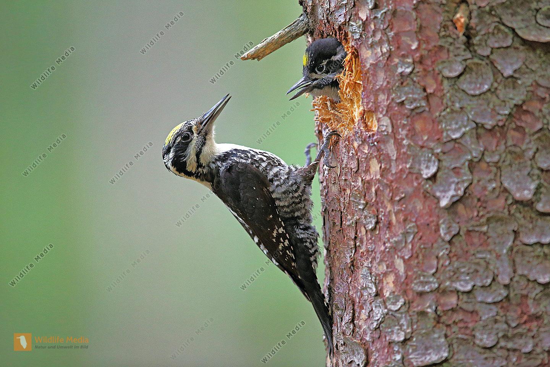 Dreizehenspecht Männchen bei Bruthöhle