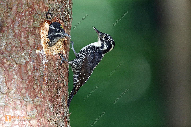 Dreizehenspecht Weibchen bei Bruthöhle