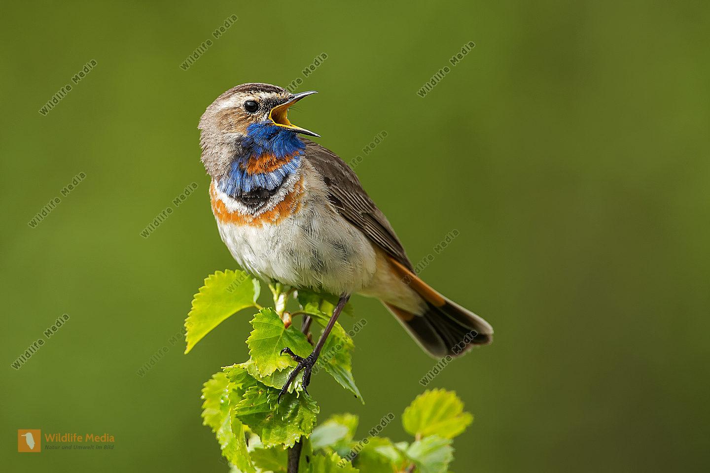 Blaukehlchen rotsterniges Luscinia svecica svecica Bluethroat