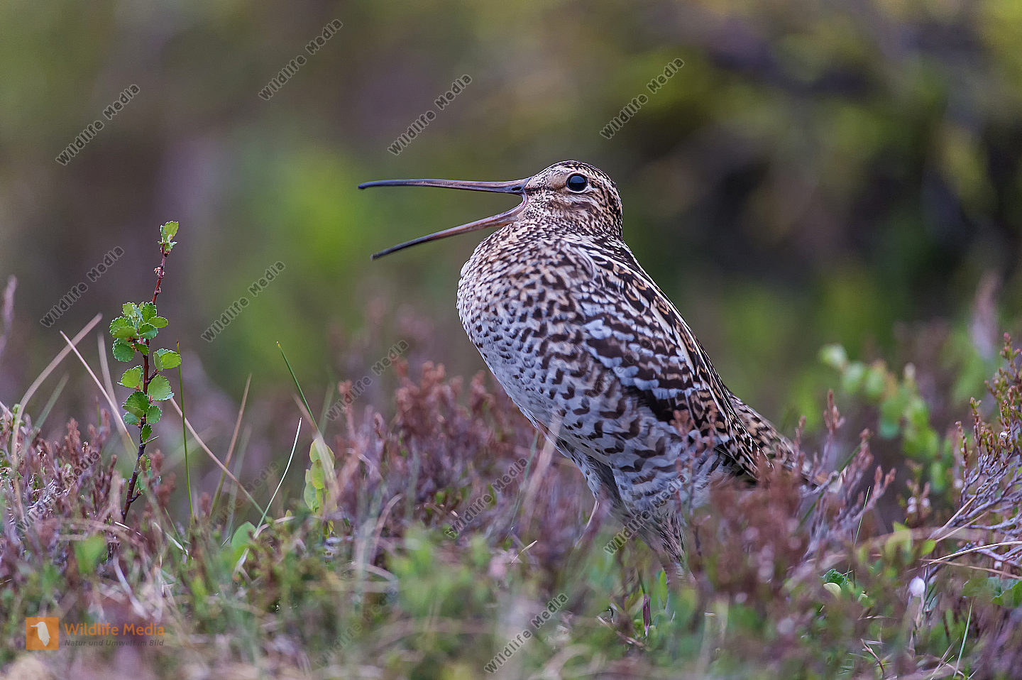 Doppelschnepfe Gallinago media Great snipe