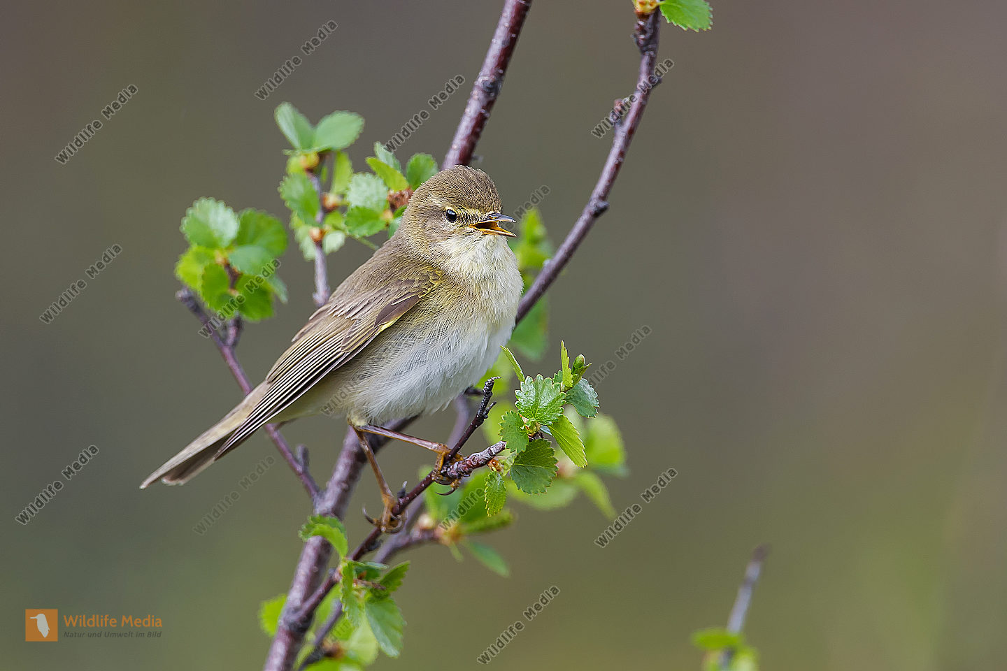 Fitis Phylloscopus trochilus Willow Warbler