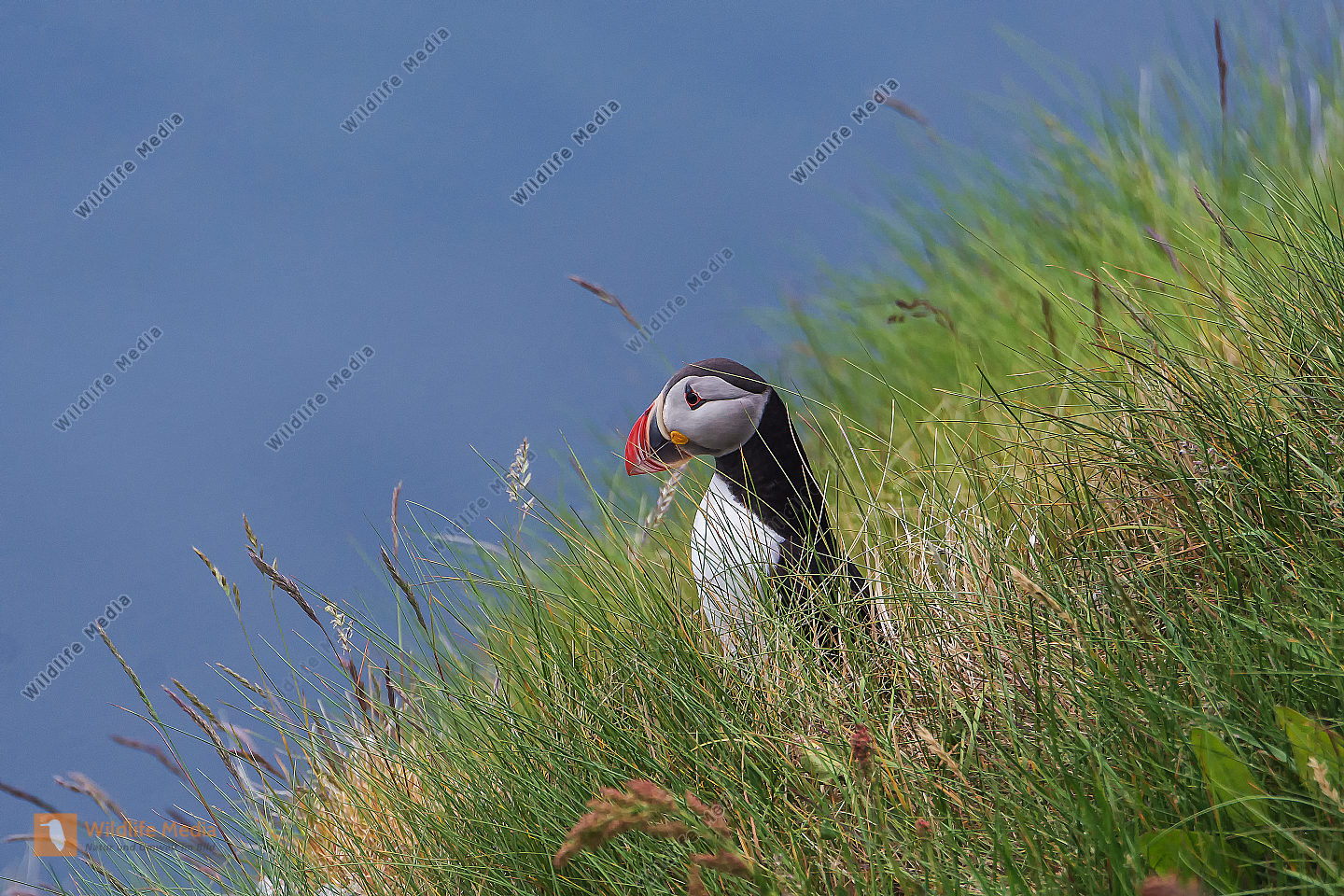 Papageitaucher Fratercula arctica Atlantic Puffin