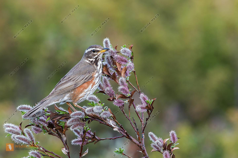 Rotdrossel Turdus iliacus Redwing