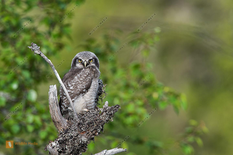 Sperbereule Surnia ulula Hawk Owl juv.