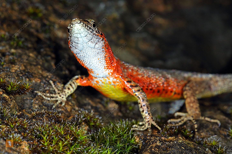 Prachtkiel-Eidechse Weibchen