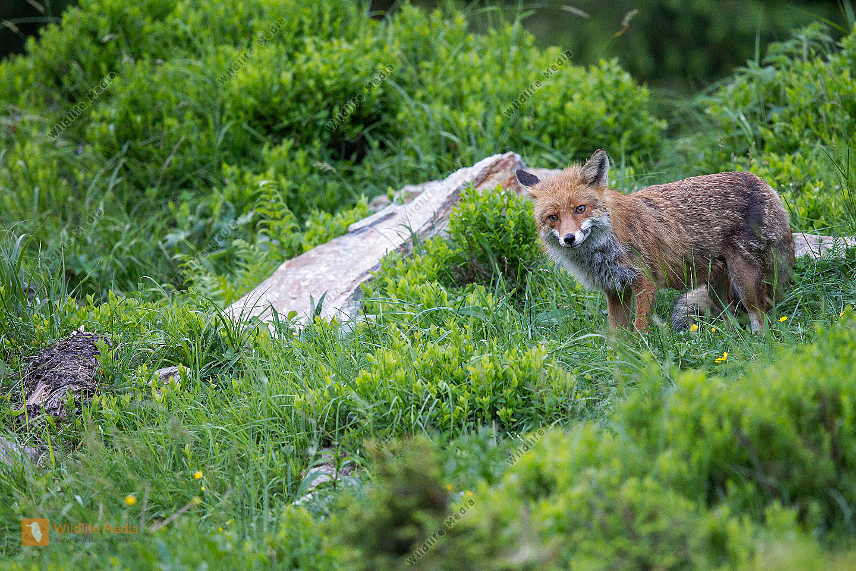 Rotfuchs  in den Tiroler Bergen