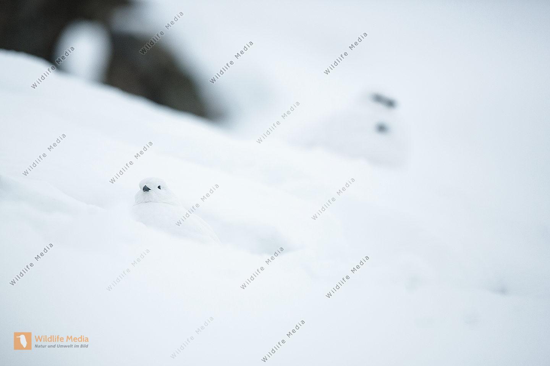 Schneehuhn in den Bergen