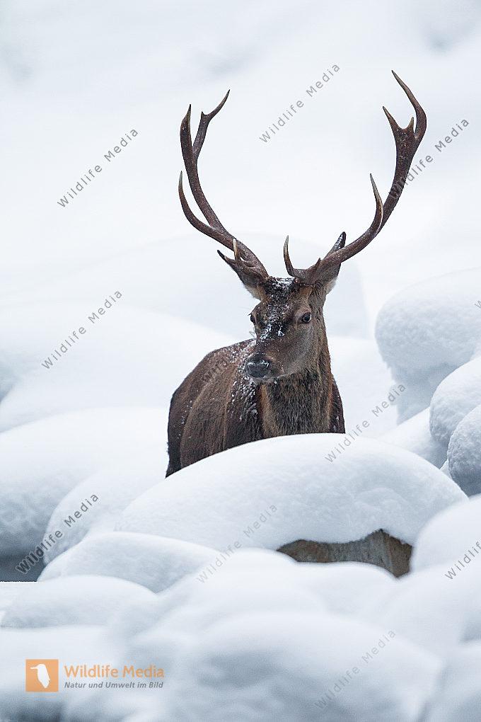 Rothirsch in den Tiroler Bergen