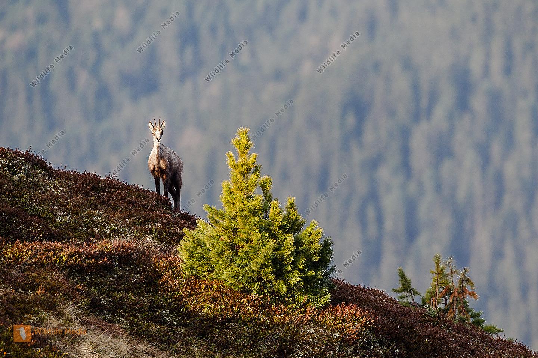 Gämse in den Tiroler Bergen