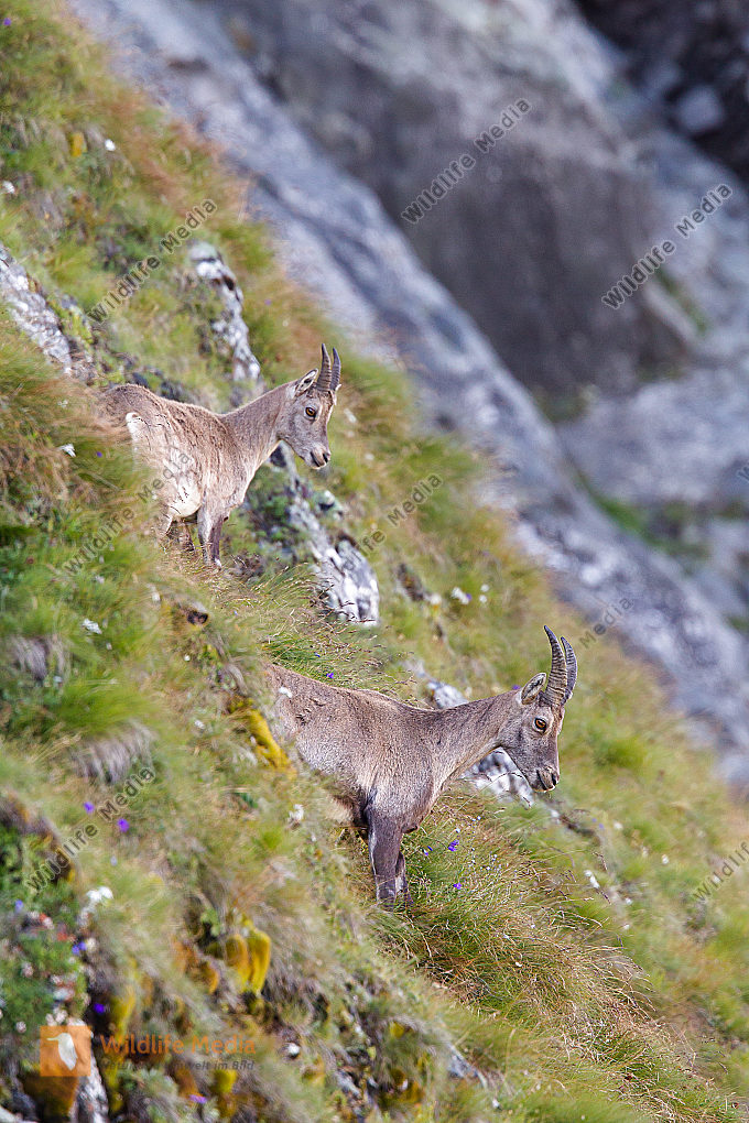 Alpensteinbock in den Tiroler Bergen