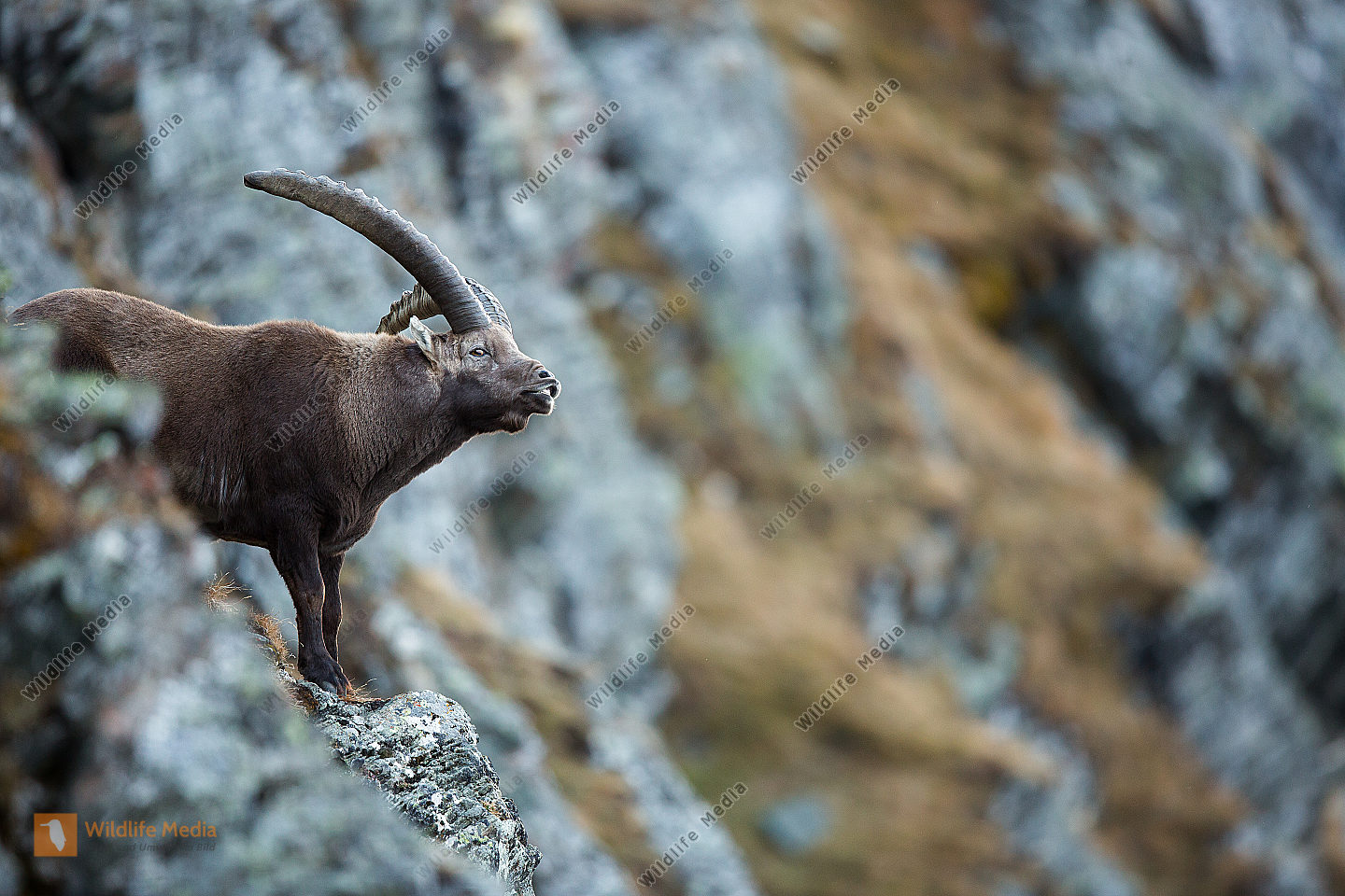 Alpensteinbock in den Tiroler Bergen