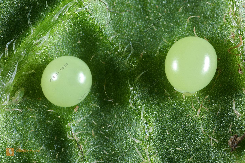 Totenkopfschwärmer Ei