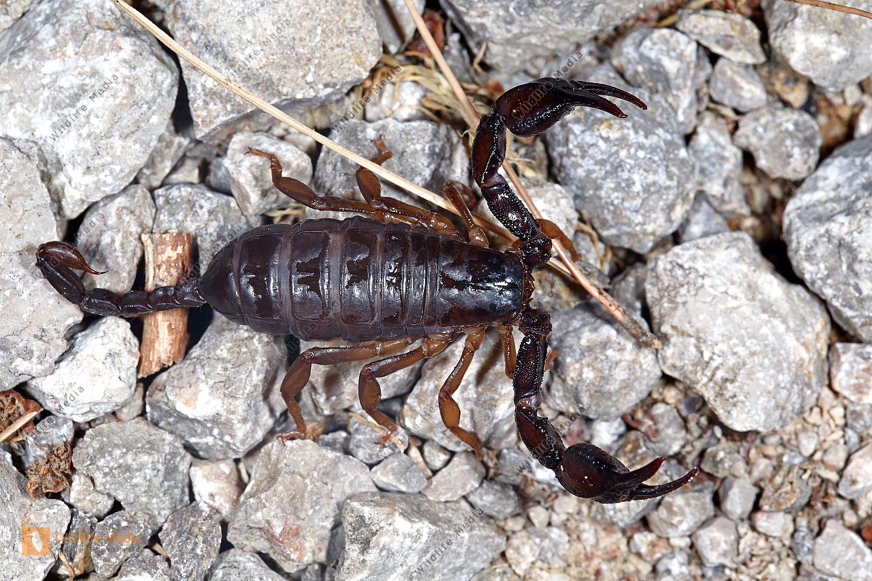 Mittelmeer-Skorpion