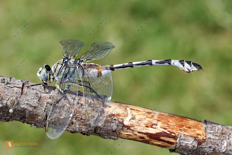 Seedrachen-Libelle Weibchen