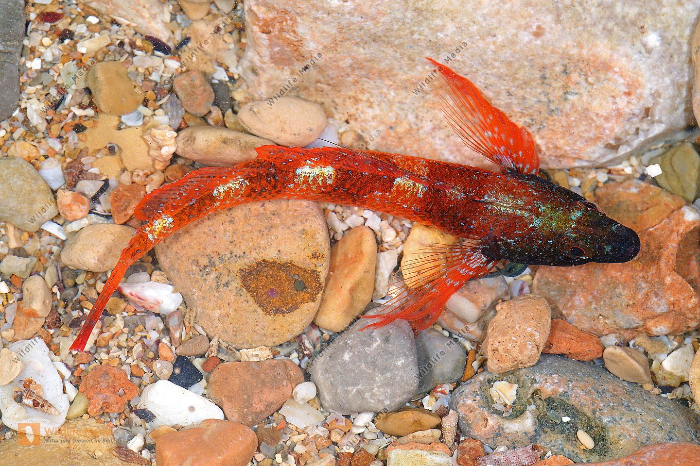 Roter Spitzkopfschleimfisch