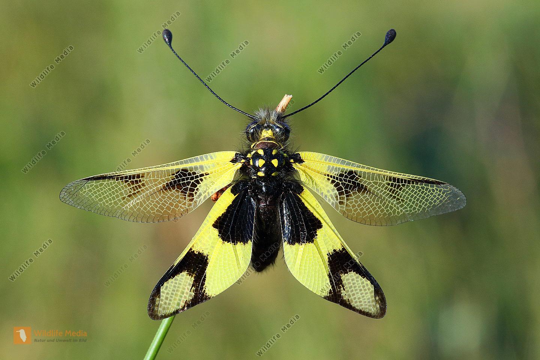 Östlicher Schmetterlingshaft