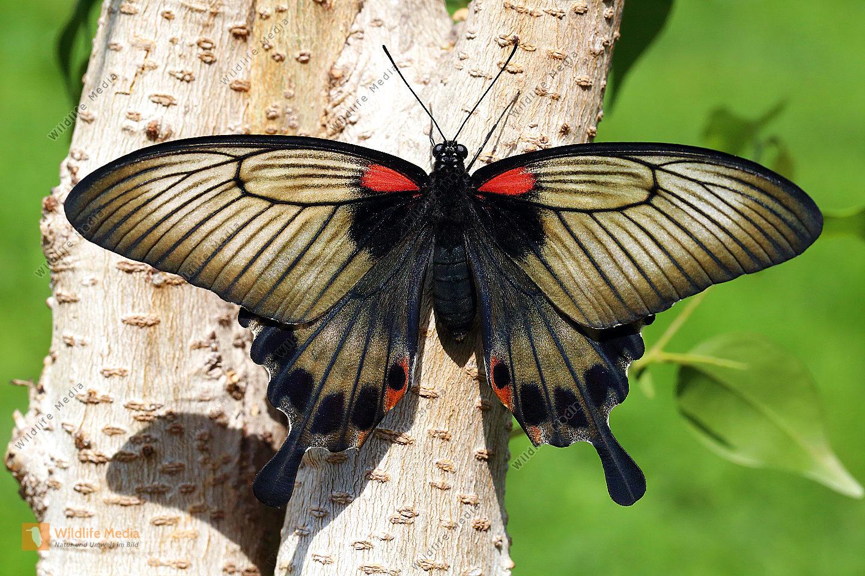 Asiatischer Schwalbenschwanz Weibchen