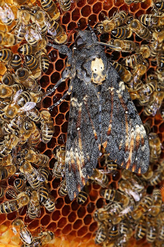 Totenkopfschwärmer im Bienenstock