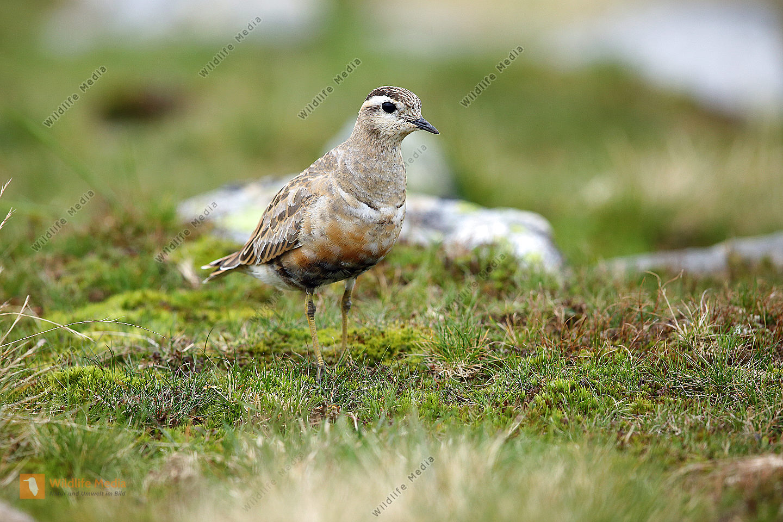 Mornellregenpfeifer Altvogel