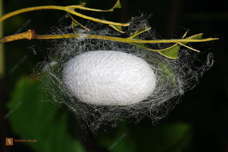 Echter speik bilder wildlife media bildagentur natur for Kokon kokon