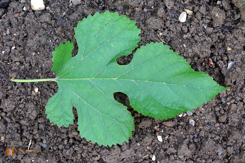 Weißer Maulbeerbaum Blatt