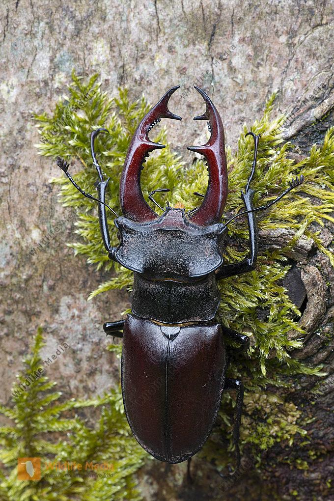 Hirschkäfer Lucanus cervus