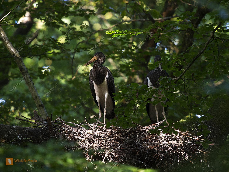 Schwarzstorch Ciconia nigra