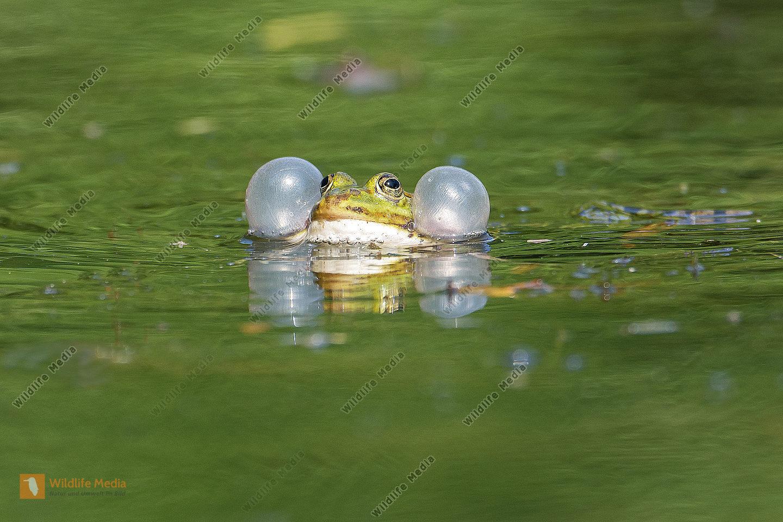 Techfrosch Rana esculenta Edible Frog