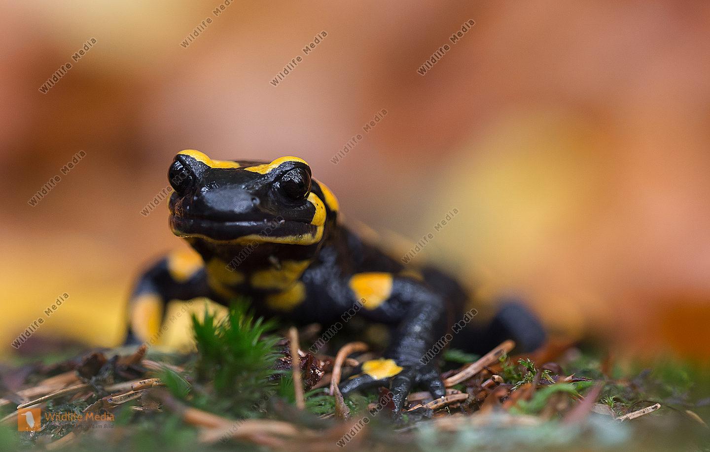 Salamander, Feuersalamander