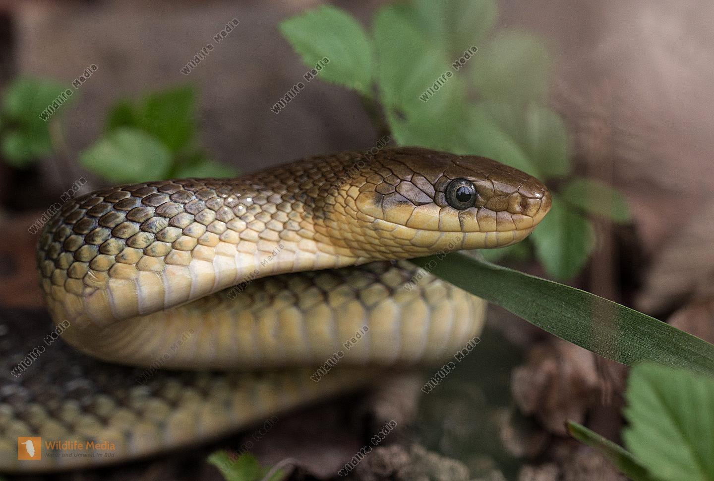 Schlange, Äskulapnatter