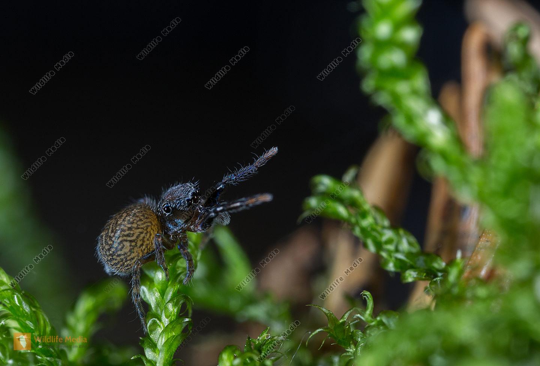 Neon reticulatus