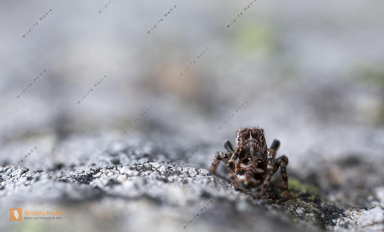 Spinne Springspinne Sitticus rupicola Sitticus Gebirge