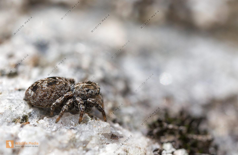 SpinneSpringspinne Sitticus Sitticus rupicola Weibchen Gebirge