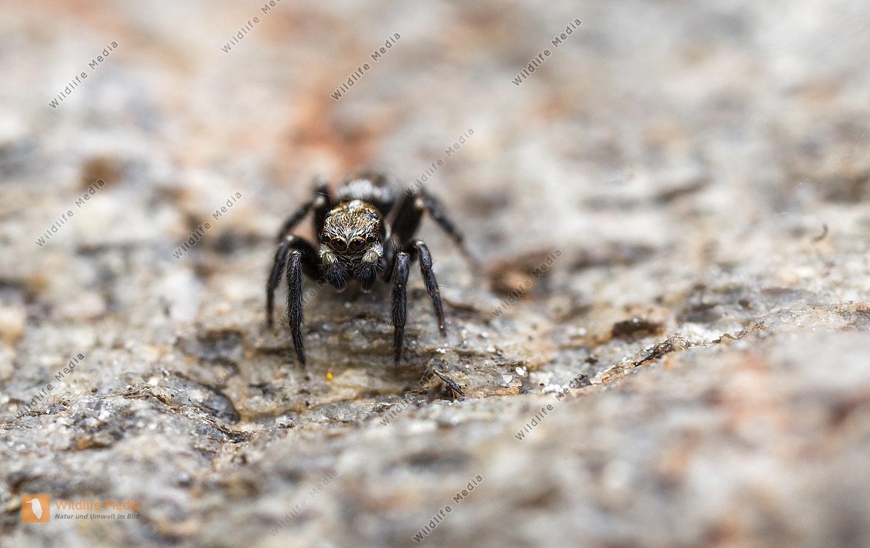 Pseudeuophrys erratica Männchen