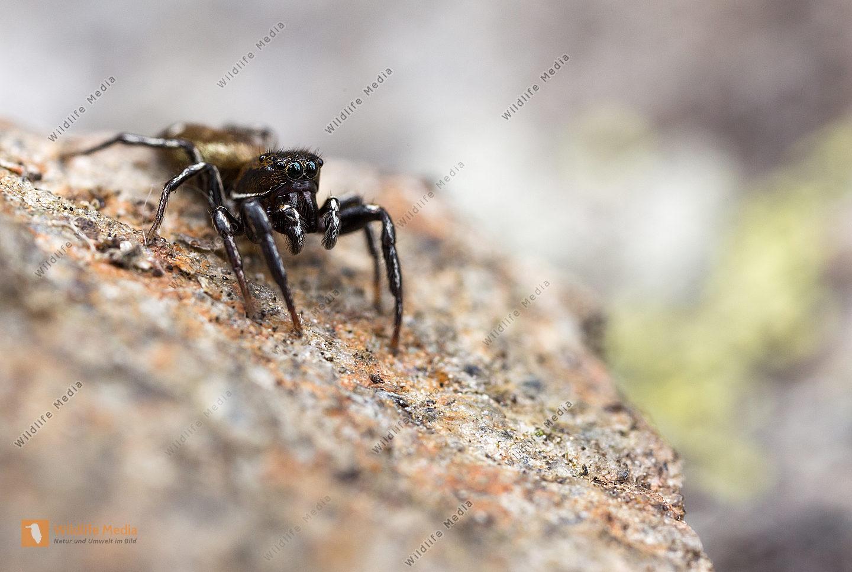 Heliophanus aeneus Männchen