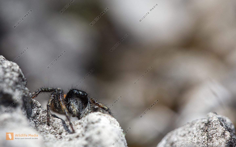 Springspinne Neon reticulatus