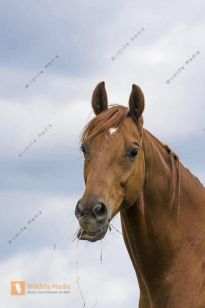 Fressendes Pferd