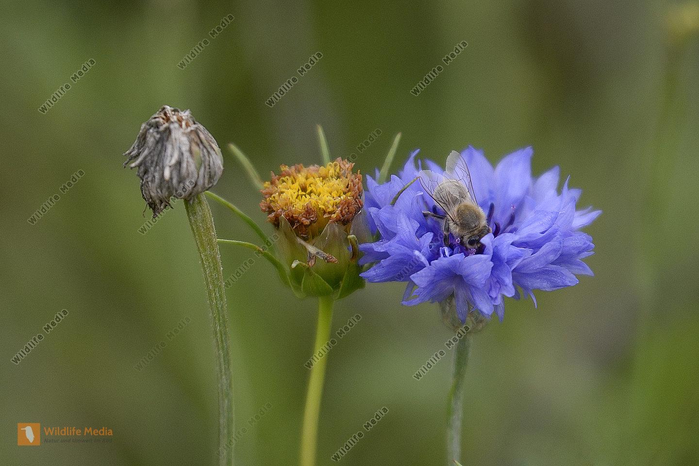 Westliche Honigbiene (Apis mellifera) auf einer Kornblume