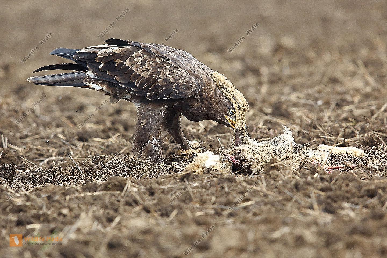 Steppenadler fressend auf Feldhase