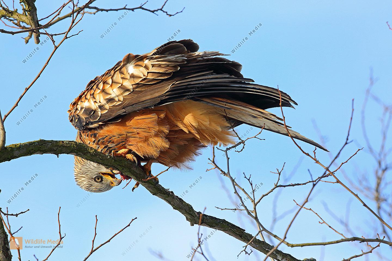 Rotmilan Altvogel mit Beute