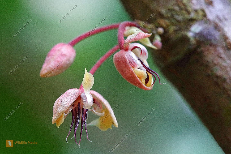 Kakaoblüte