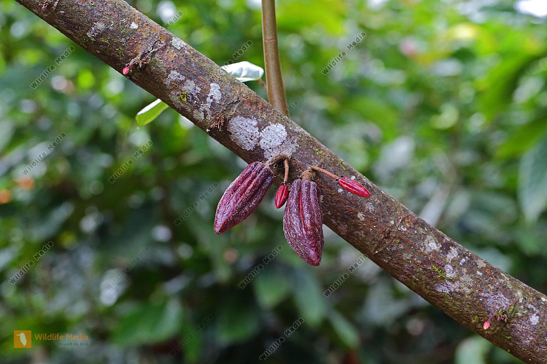 Kakaofrüchte im Jugendstadium