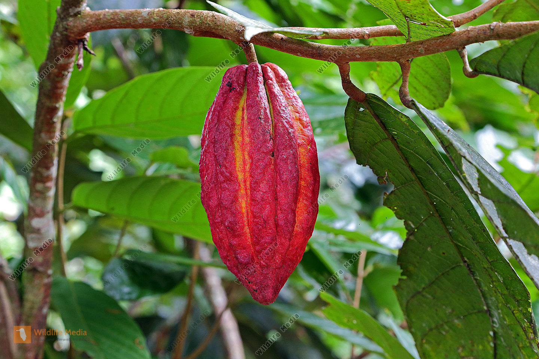 Kakaofrucht