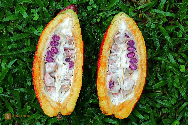 Kakaofrucht aufgeschnitten mit Kakaobohnen