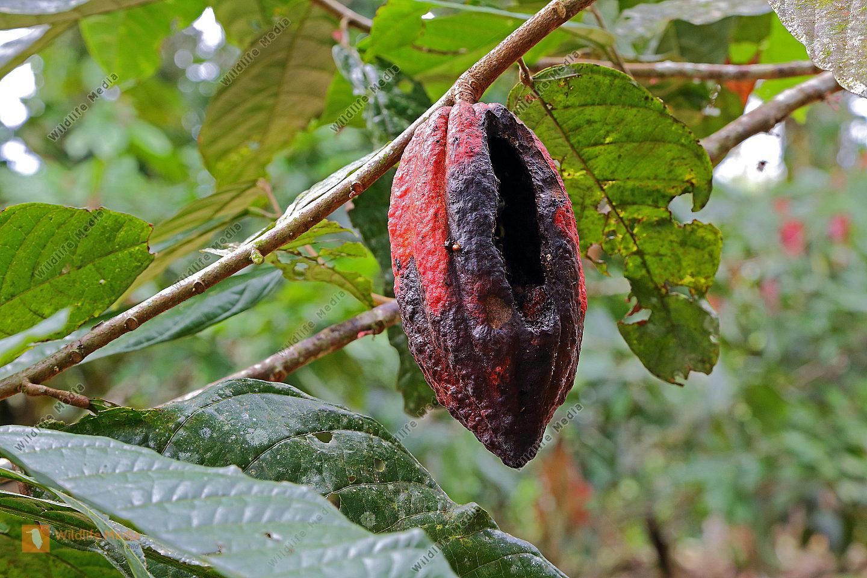 Kakaofrucht von Tieren geöffnet