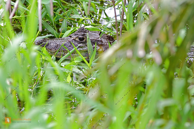 Krokodilkaiman Jungtier
