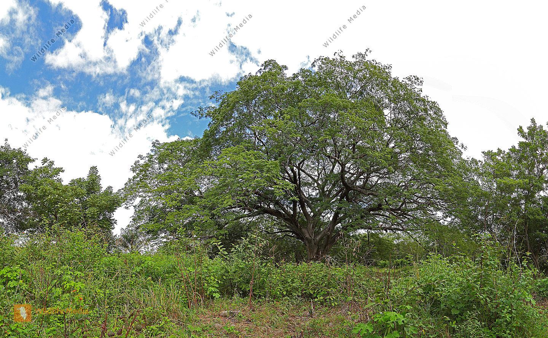 Guanacaste-Baum Panorama