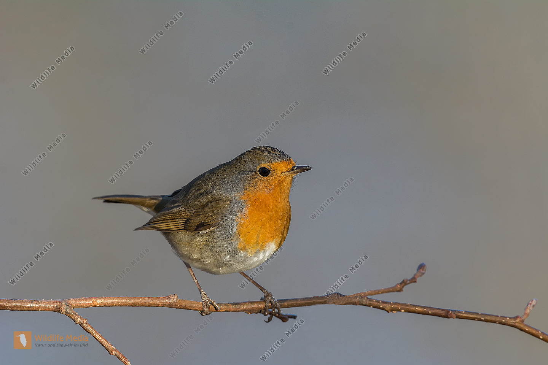 Rotkehlchen Erithacus rubecula European Robin